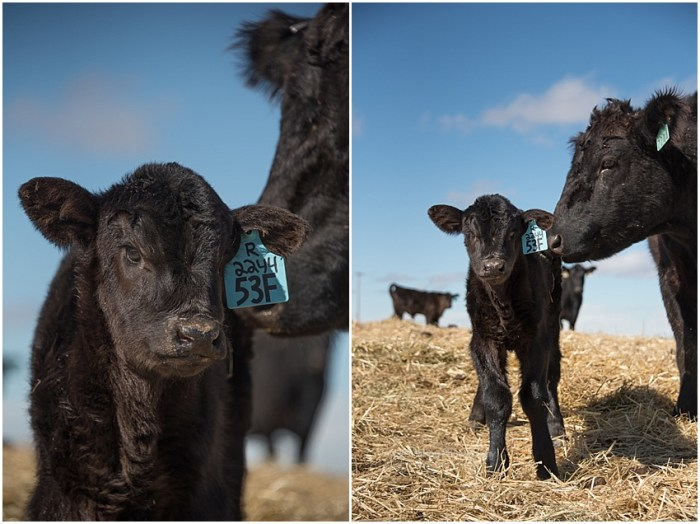 calving time
