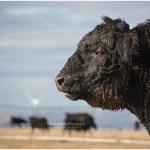 Angus bull, January, Idaho