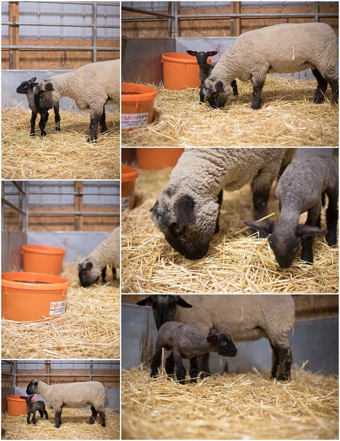 2018,buck,ewe,lamb,lambing,sheep,wether,