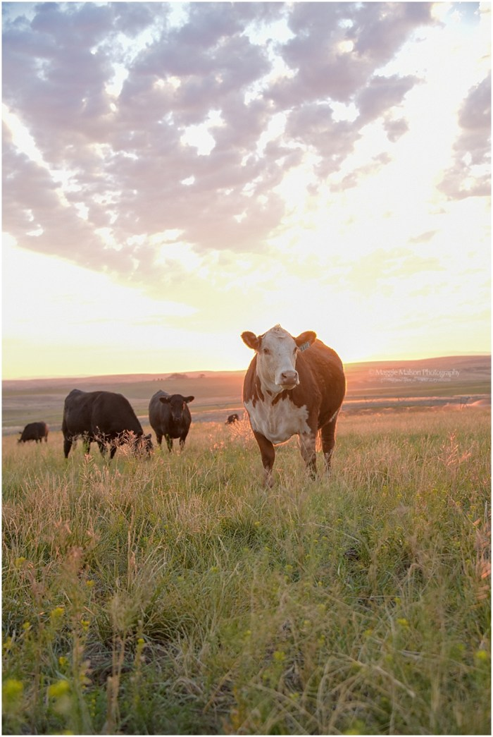 Angus,Hereford,bred heifers,cattle,
