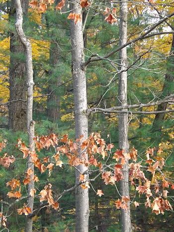 Autumn maples DSCF3728