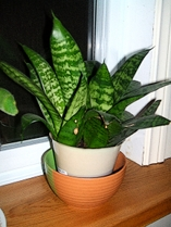Healthy Houseplant in the North West Window