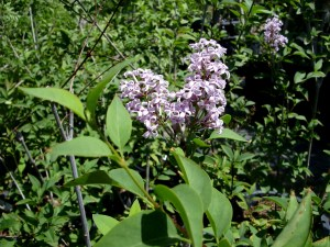 Syringa persica (Persian Lilac)