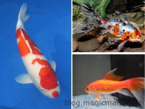 Blog de magicmanu :Aménagement de notre maison, Bassin de jardin - Les premiers poissons