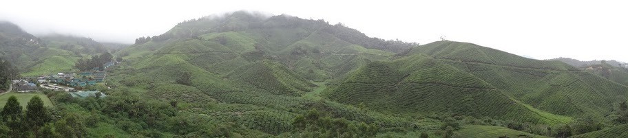 Boh Tea Plantation Panorama