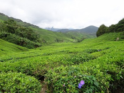 Hills of Tea at the Boh Tea Plantation in the Cameron Highlands