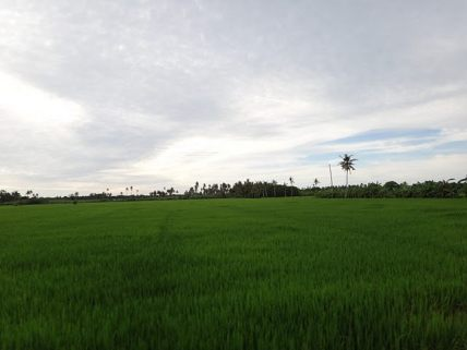 Rice field of Penang