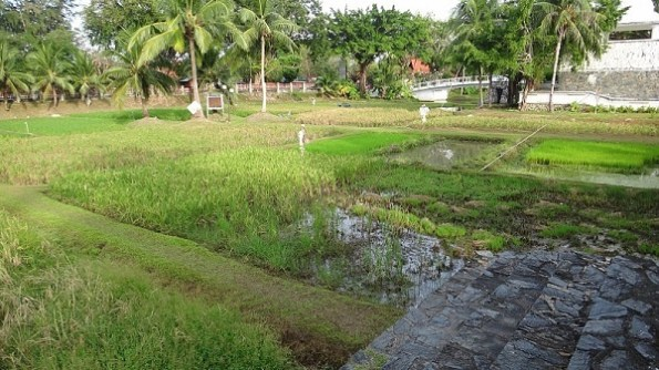 Various stages of rice harvesting