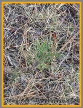 An infant ponderosa pine.