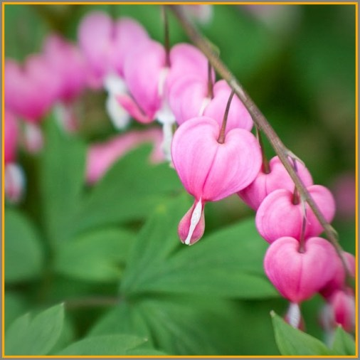 Bleeding heart impatiens.