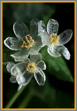 Here we have flowers that actually turn transparent when wet!
