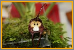 Here's yet another monkey-faced orchid.