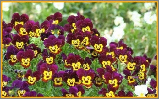 Cute laughing pansies.