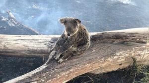 Australian Bushfires emergenza incendi Australia koala
