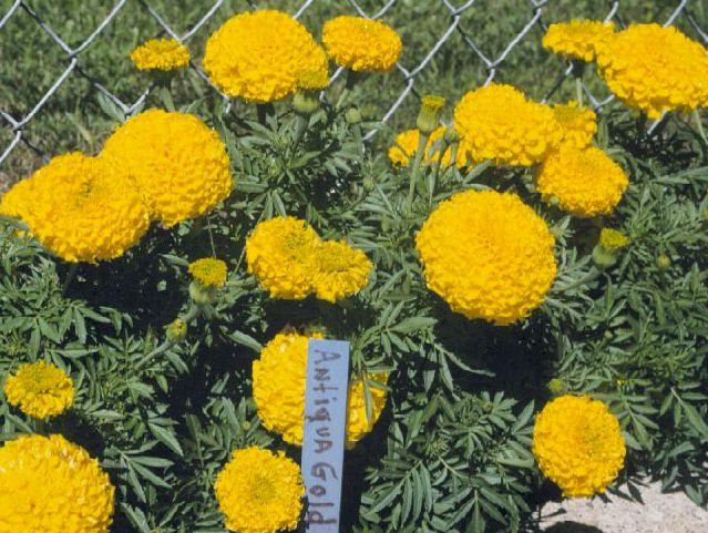 2-Marigold-Tagetes-spp