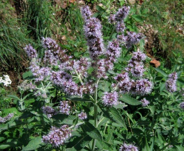 Mentha longifolia (dolgolistna meta)