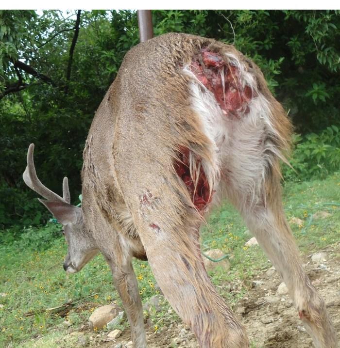 Ataque_de_perros_ferales_a_venado_cola_blanca_en_Area_Natural_Protegida._Archivo_Conanp