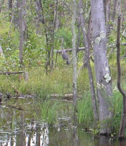 Can you spot this well camouflaged Great Blue Heron?