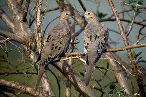 Mourning Doves. Photo by R.L. Sivaprasad.