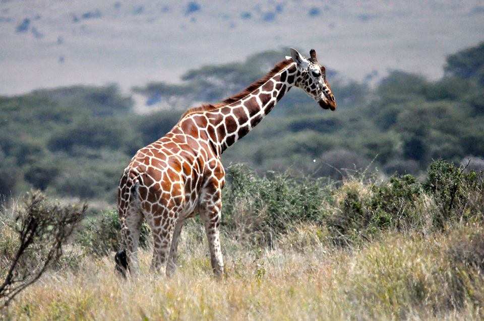 Reticulated giraffe, Lewa Conservancy