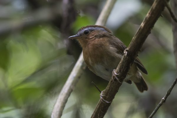 Chupa-dente (Conopophaga lineata)