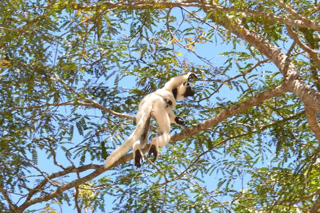 Le lémurien propithèque de verreau de Madagascar