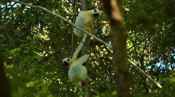 Lémurien des Tsingy de Bemaraha à Madagascar