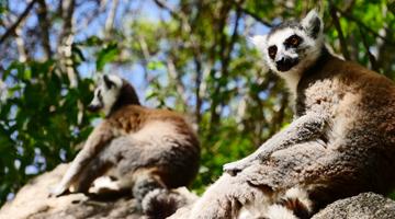 lémurien maki catta de madagascar