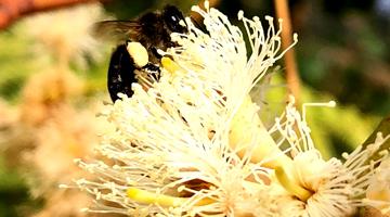 Abeille butinnat une fleur d'eucalyptus de Madagascar
