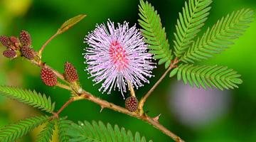 Fleur du Mimosa Pudica de Madagascar