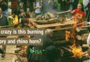 How Stupid, Short Sighted & Crazy is this Burning of Ivory & Rhino Horn???
