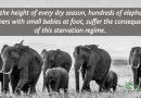 Hundreds of Starving Baby Elephants are Abandoned