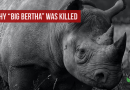 Why Big Bertha the Rhino was Killed