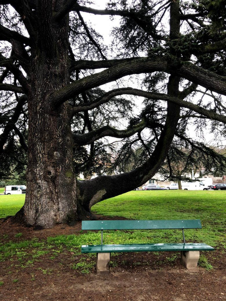 An old tree with a bench