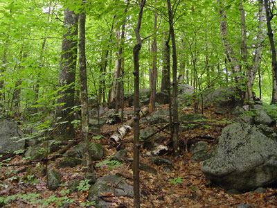 Management practice, forest cover type, and soil type all appear to affect ion cycling within these forests. Maine Natural Areas Program Natural Community Fact Sheet For Oak Northern Hardwoods Forest