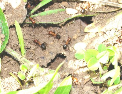 European Fire Ant Infestation