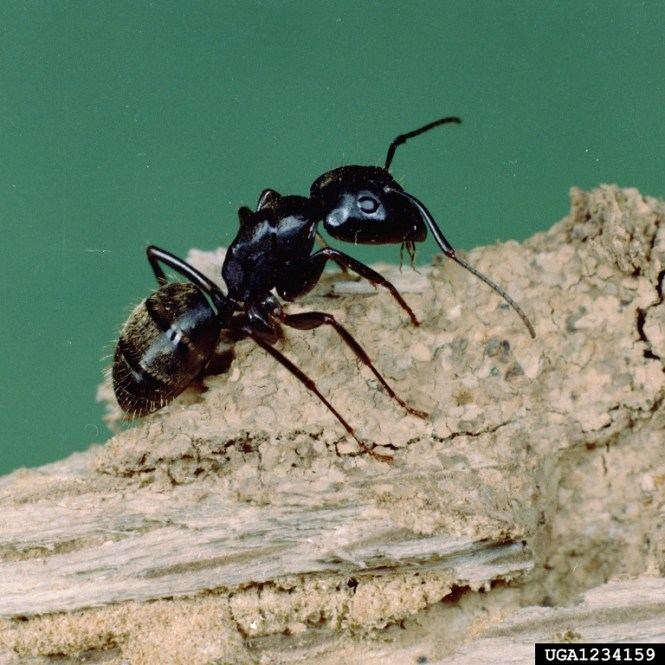Red Carpenter Ant Image
