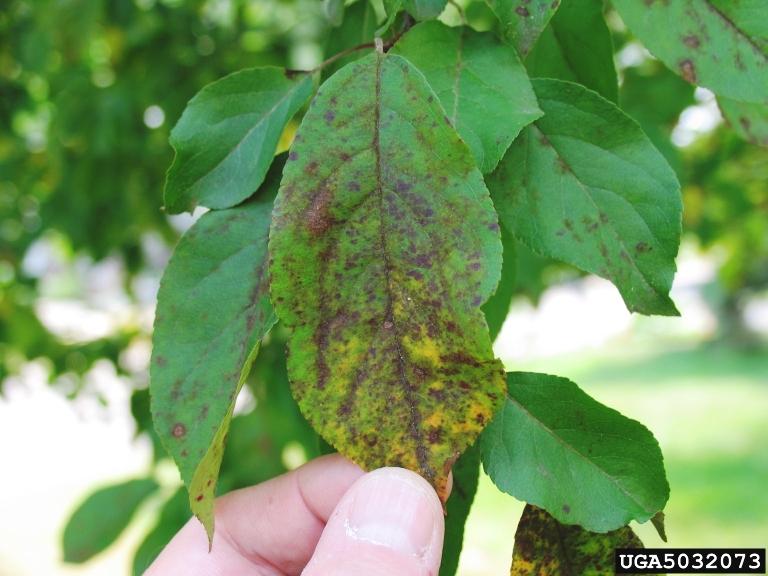 Berry Shrubs Identification