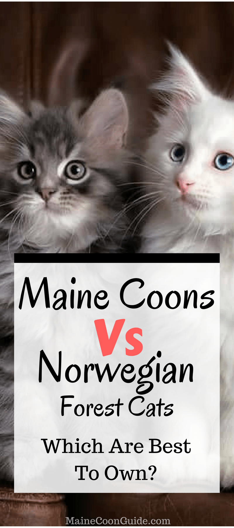 Maine Coon Vs Norwegian Forest Cat Maine Coon Guide