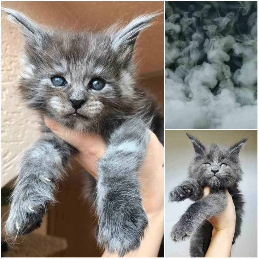 Top 29 Awesome Maine Coon Cat Names Ideas - Maine Coon Guide