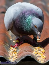 Tucking into a feed of bird seed with corn, maize, oats this evening. ©Photograph: John Reidy