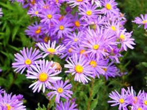 Aster Flower, attracts butterflies and bees