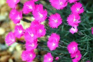 Dianthus Flower, fragrant perennial
