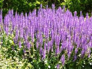 Salvia Flower, perennial purple blooms