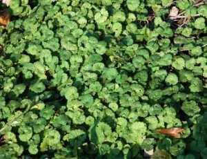 lawn weeds Ground Ivy frisco prosper