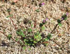 lawn weeds Henbit frisco prosper