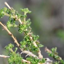 Acantholippia seriphioides