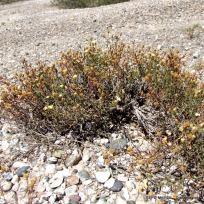 Gutierrezia solbrigii (4)