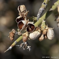 Menodora_robusta (18)