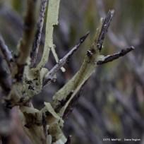 Monttea aphylla_Matasebo (54)
